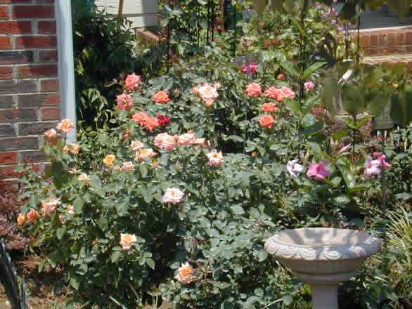 how to grow cut roses